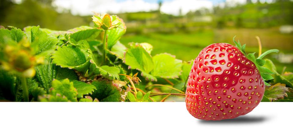 Aardbeien van de hoogste kwaliteit