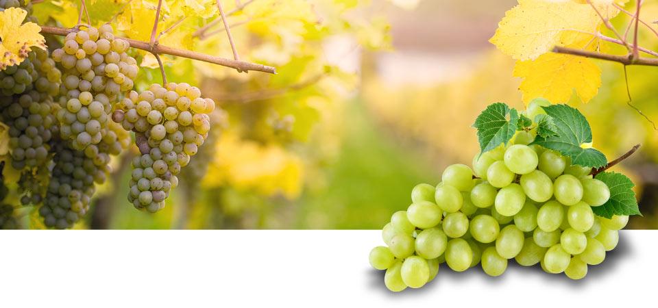 Druiven van de hoogste kwaliteit